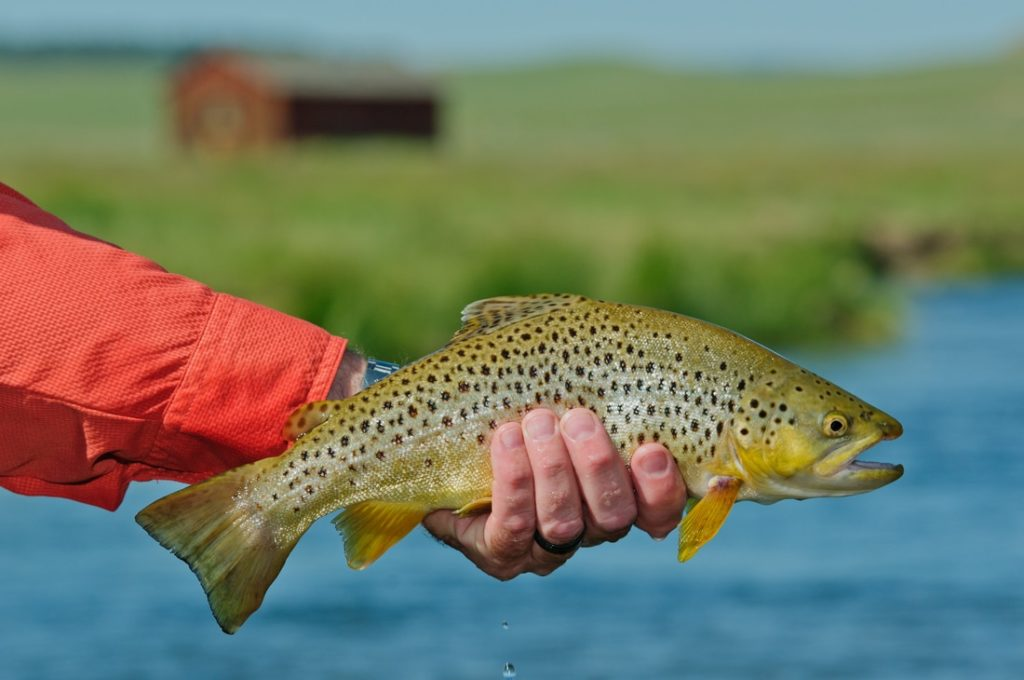 Closeup of trout being held above the water with meadow and wooden structure in the background