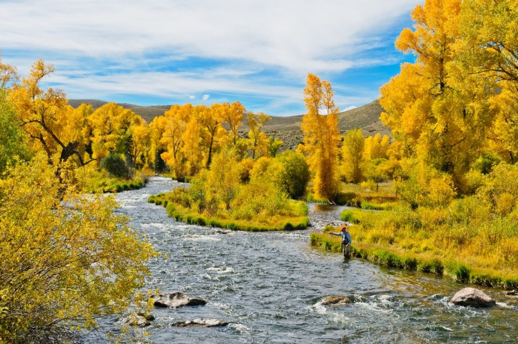 Fly fishing angler casting at Williams Fork during autumn with gold-leafed trees throughout the background